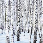 Winter birches 1/1