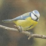 Cute blue tit