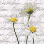 Blooming daisies white